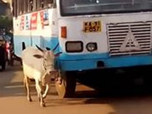 Cow Blocking The Bus Who Had Killed Her Calf
