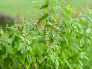 Health Benefits Eating Tulsi Leaves Early Morning