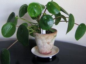 Vastu Guidelines For Money Plant
