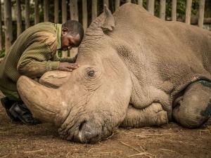 World S Last Male Northern White Rhino Sudan Dies