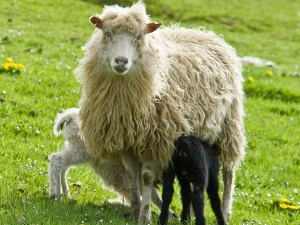 The Health Benefits Sheep Milk