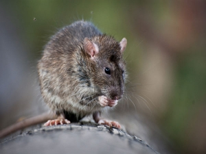 What Is Lassa Fever What Are The Symptoms Lassa Fever