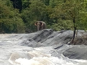 Elephant Stranded In An Overflowing River In Kerala Was Rescued