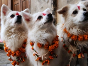 Know About Kukur Tihar Dog S Festival Nepal