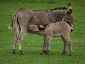 Donkey S Milk Might Sound Weird But It Has Numerous Health Benifits