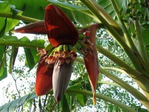 Seven Incredible Health Benefits Banana Flower