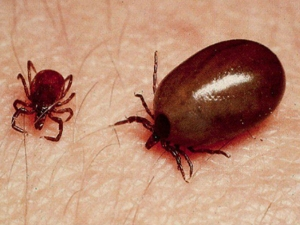 150 People Diagnosed With Scrub Typhus Mizoram Know More About This Disease