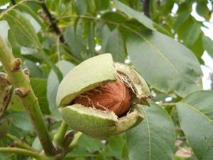 Health Benefits Walnut Tree Peel