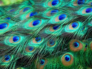 Vastu Tips Remove Your Doshas With Peacock Feather