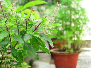 Amazing Religious Facts About Tulsi