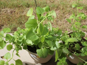 Ajwain Leaves Medicinal Uses Of These Flavourful Leaves