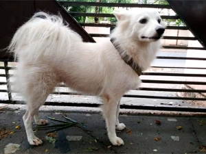 Year Old Pomeranian Dog Abandoned In Kerala Over Illicit Relationship