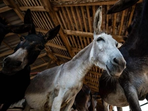 Serbia Donkey Cheese May Be World S Most Expensive Costs This Much