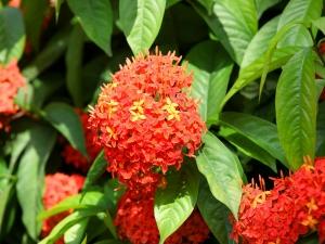 Ayurvedic Benifits Of Ashoka Herbs For Pcos And Fertilit