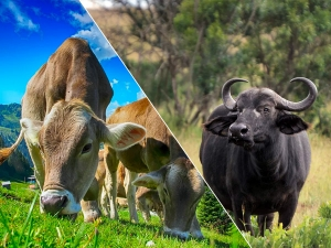 Cow Milk Vs Buffalo Milk Differences And Which One Is Better
