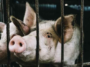 First Case Of African Swine Flu Detected In Assam Know More About This Flu