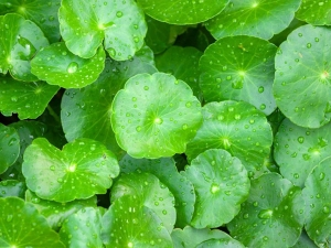 What Is Cica Cream Know Benefits Of Centella Asiatica For Sensitive And Dry Skin