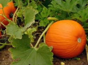 Health Benefits Of Pumpkin Leaves