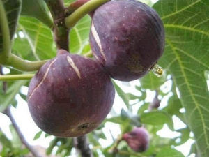 Health Benefits Of Bedoo Fruit Or Bedu Phal