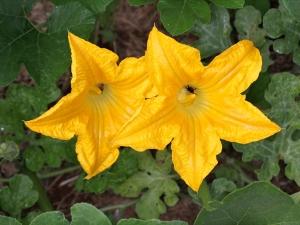 Pumpkin Flower Health Benefits In Hindi