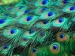 खुशहाल जिंदगी के लिए आसान तरीकों से करें मोर पंख का इस्तेमाल